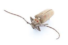 Escarabajo muerto Foto de archivo