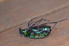 Escarabajo muerto Imagen de archivo libre de regalías