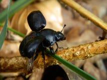 Escarabajo negro Imágenes de archivo libres de regalías