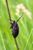 Escarabajo negro Imagenes de archivo