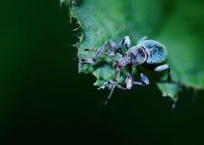Escarabajo negro Imagen de archivo