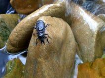 Escarabajo negro de piedra mojado Imagen de archivo