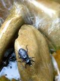 Escarabajo negro de piedra mojado Imagenes de archivo