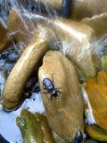 Escarabajo negro de piedra mojado Fotografía de archivo
