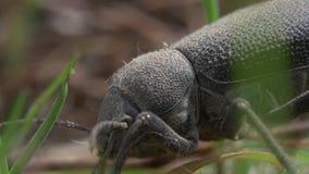 Escarabajo negro almacen de video