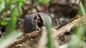 Escarabajo negro almacen de metraje de vídeo