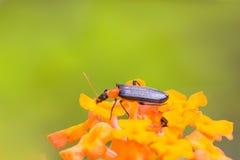 Escarabajo negro en la flor amarilla Fotos de archivo libres de regalías