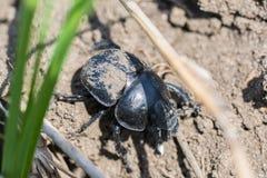 Escarabajo negro en la tierra Imagenes de archivo