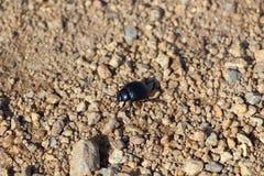 Escarabajo negro en una trayectoria Foto de archivo