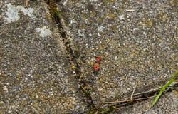 Escarabajo negro rojo en una piedra fotografía de archivo