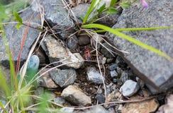 escarabajo Negro-rojo entre la hierba del ANG de las piedras, Altai, Rusia fotografía de archivo libre de regalías