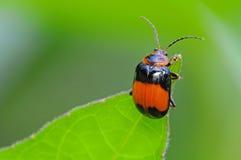 Escarabajo negro y anaranjado Foto de archivo