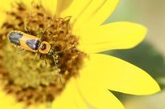 Escarabajo negro y rojo en una flor amarilla Fotos de archivo