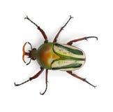 Escarabajo ostentoso masculino de la flor Foto de archivo