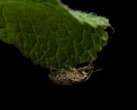 Escarabajo que da en la hoja Imágenes de archivo libres de regalías