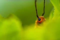Escarabajo que oculta detrás de una hoja Fotos de archivo