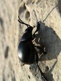Escarabajo que sube Foto de archivo libre de regalías