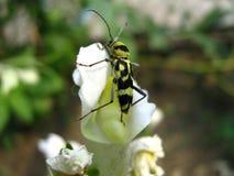Escarabajo rayado Imágenes de archivo libres de regalías