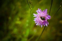 Escarabajo rayado en la flor fotografía de archivo