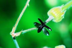 Escarabajo recolectado en vuelo Imagenes de archivo