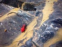 Escarabajo rojo Fotos de archivo libres de regalías
