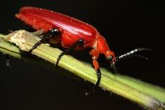 Escarabajo rojo Imagen de archivo