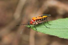 Escarabajo rojo de la perspectiva en la hoja Imagen de archivo