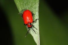 Escarabajo rojo de Lilly - lilii de Liliocevis Fotos de archivo libres de regalías
