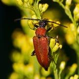Escarabajo rojo del fonolocalizador de bocinas grandes, rubra de Stictoleptura Foto de archivo