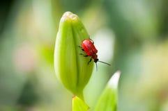 Escarabajo rojo del lirio Fotos de archivo libres de regalías