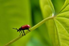 Escarabajo rojo del lirio Foto de archivo libre de regalías