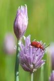 Escarabajo rojo del lirio (lilii de Lilioceris) Foto de archivo