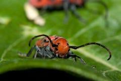 Escarabajo rojo del Milkweed Imágenes de archivo libres de regalías