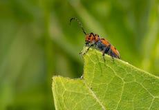 Escarabajo rojo del Milkweed Fotos de archivo