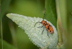 Escarabajo rojo del Milkweed Fotografía de archivo