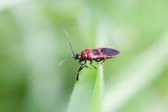 Escarabajo rojo en la hoja Imagen de archivo libre de regalías