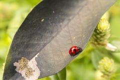 Escarabajo rojo en la hoja seca del negro de la hoja Imagen de archivo libre de regalías
