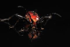 Escarabajo rojo en negro con la reflexión Imagenes de archivo