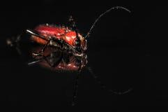 Escarabajo rojo en negro con la reflexión Fotos de archivo