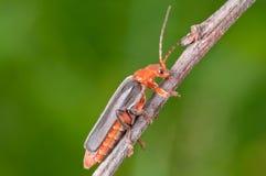 escarabajo Rojo-negro Fotos de archivo libres de regalías