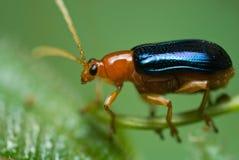 Escarabajo rojo y azul Imagen de archivo libre de regalías