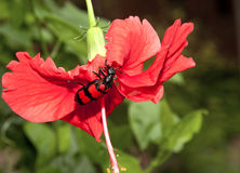 Escarabajo rojo y negro Imagen de archivo libre de regalías