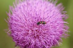 Escarabajo rojo y negro en un wildflower rosado Imagen de archivo
