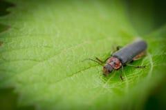 Escarabajo rojo y negro que se arrastra en la hoja verde Imágenes de archivo libres de regalías