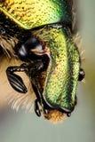 Escarabajo - Rose Chafer, aurata del Cetonia Fotografía de archivo