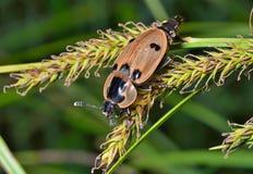 Escarabajo (Silphidae) 8 Imagen de archivo libre de regalías