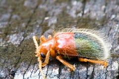 Escarabajo tropical de la selva tropical Fotos de archivo
