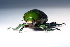 Escarabajo verde imagen de archivo libre de regalías