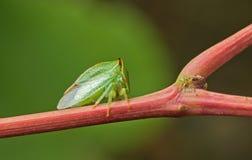 Escarabajo verde. Imagen de archivo libre de regalías