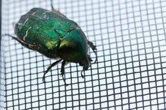 Escarabajo verde Imagenes de archivo